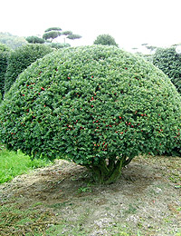 Taxus baccata Formed — English Yew Formed (bushes with berries)