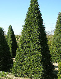 Taxus baccata Pyramide — English Yew Pyramide (evergreen conifers plants)