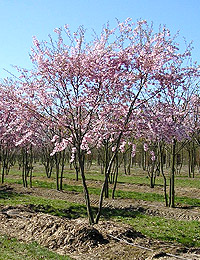 Prunus Autumnalis Schirm — Autumn Plum Schirm (decorative flowering plants)