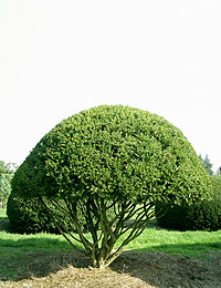 Taxus baccata Pilzform — English Yew Pilzform (trees ornamental conifers)