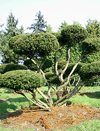 Taxus baccata Bonsai — English Yew Bonsai (ornamental garden trees)