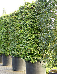 Acer campestre Hedge Elements — Field Maple Hedge Elements (ornamental trees, evergreen)