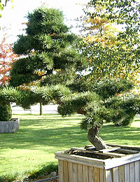Pinus thunbergii Bonsai — Japanese Black Pine Bonsai (ornamental formed plants)
