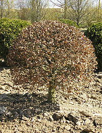 Fagus sylvatica Ball — European Beech Ball (ornamental deciduous trees)