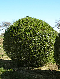 Ligustrum vulgare Ball — European Privet Ball (deciduous bushes)