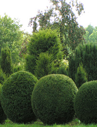 Taxus baccata Ball — English Yew Ball (conifers trees for gardening)