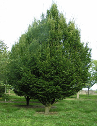 Carpinus betulus — European Hornbeam (trees for greenery)